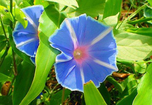 s-青い花②20170916