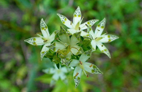 s-白い花20170915