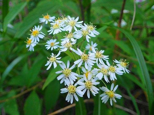 s-白い花②20170915