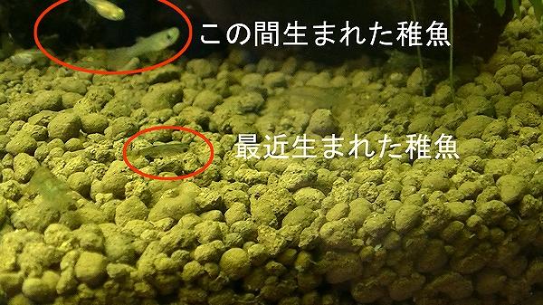 15chigyo.jpg