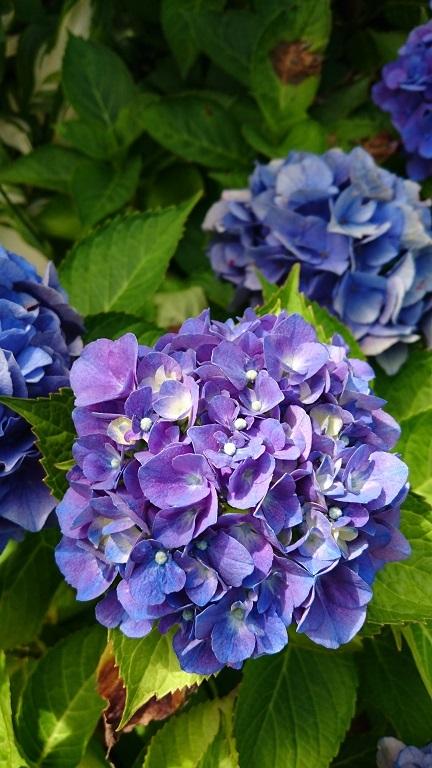 170819紫陽花