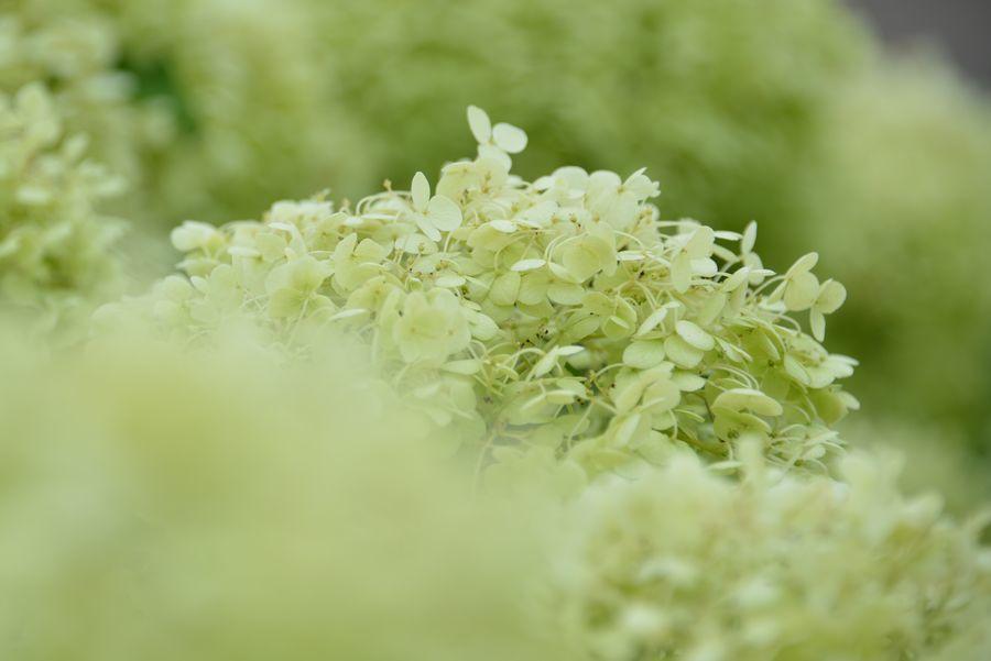 緑の紫陽花-3