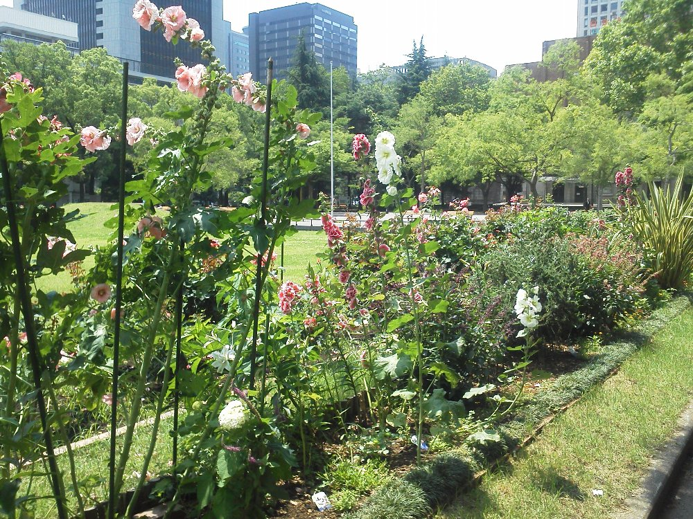 F1000427日比谷公園6月15日第二花壇タチアオイ