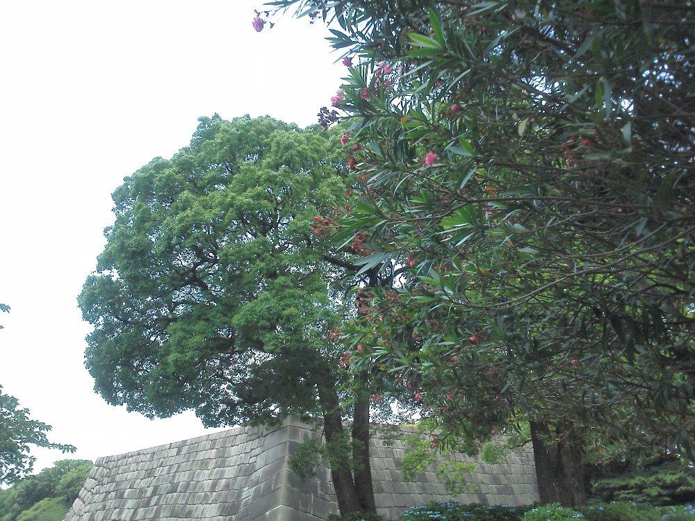 F1000458皇居東御苑6月22日天守台とキョウチクトウ