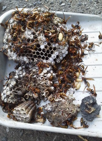 170817蜂の巣駆除
