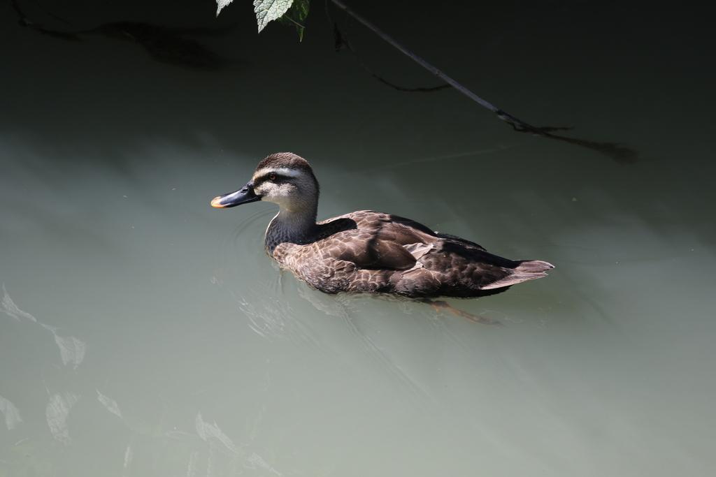 逆川の鳥さんほか_4