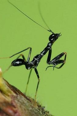 アリカマキリOdontomantis planiceps