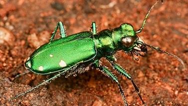 マガタマハンミョウ(緑色型) Cicindela ovipennis 4