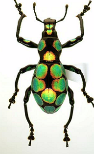 Pachyrrhynchus taylori