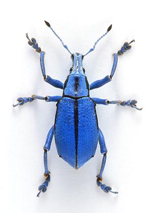 ロリエホウセキゾウムシEupholus loriae