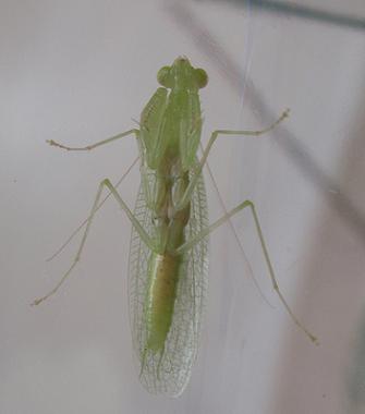 Tropidomantis tenera652