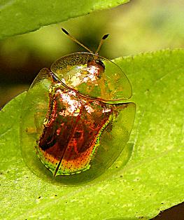 ジンガサハムシ(陣笠葉虫、Aspidomorpha indica Boheman)