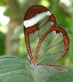 Pteronymia artena コスタリカ