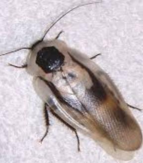 オオメンガタブラベルスゴキブリ(Blaberus giganteus)