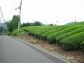 170811白栖地区の茶畑を裏大正池へ
