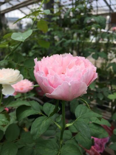 ブログ0805小春