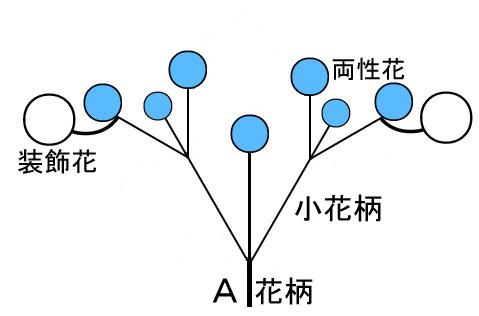 2shutu-ajisai-2.jpg