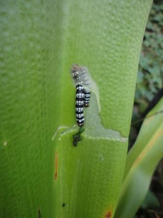 ハマオモトヨトウの幼虫