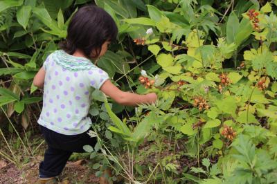 エビガライチゴの収穫1