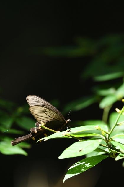 ジャコウアゲハ170820-4