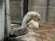 P201777、子供に乳をのませる白熊