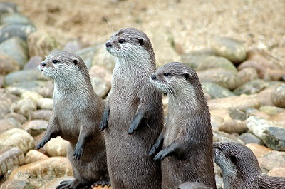 Otters_in_a_row[1]