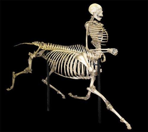 ケンタウロスの骨格展示