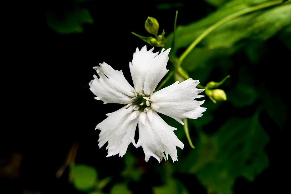 2017.07.14白山の花が本格化33