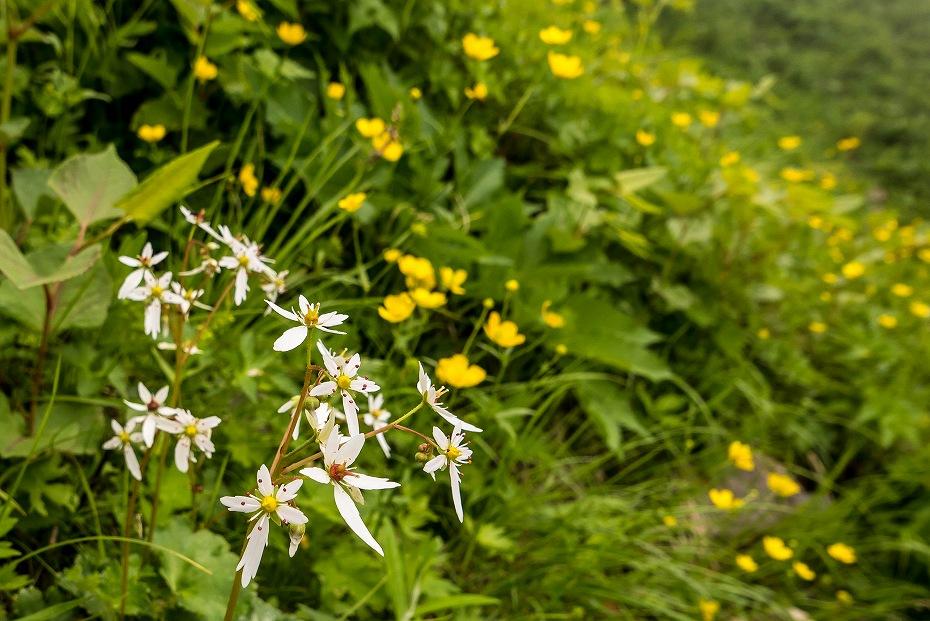 2017.07.14白山の花が本格化30