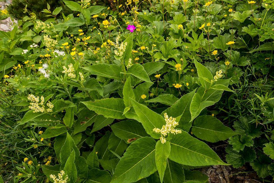 2017.07.14白山の花が本格化29