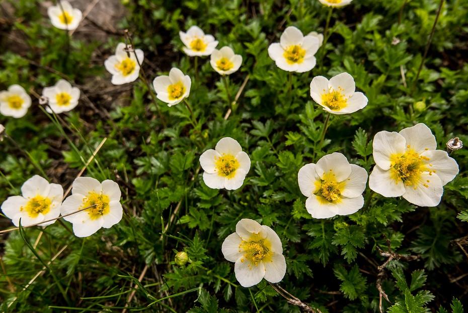 2017.07.14白山の花が本格化24