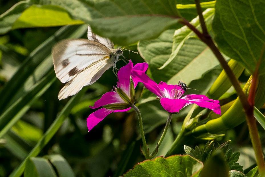 2017.07.14白山の花が本格化13