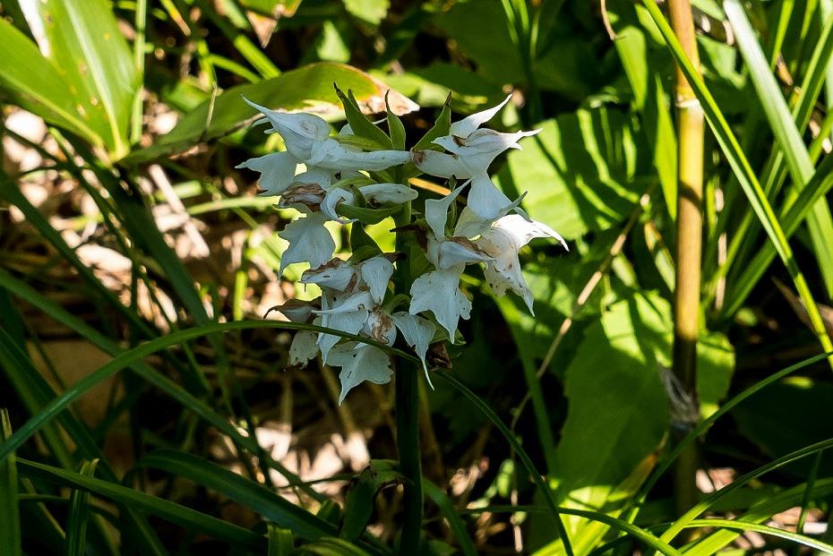 2017.07.14白山の花が本格化9