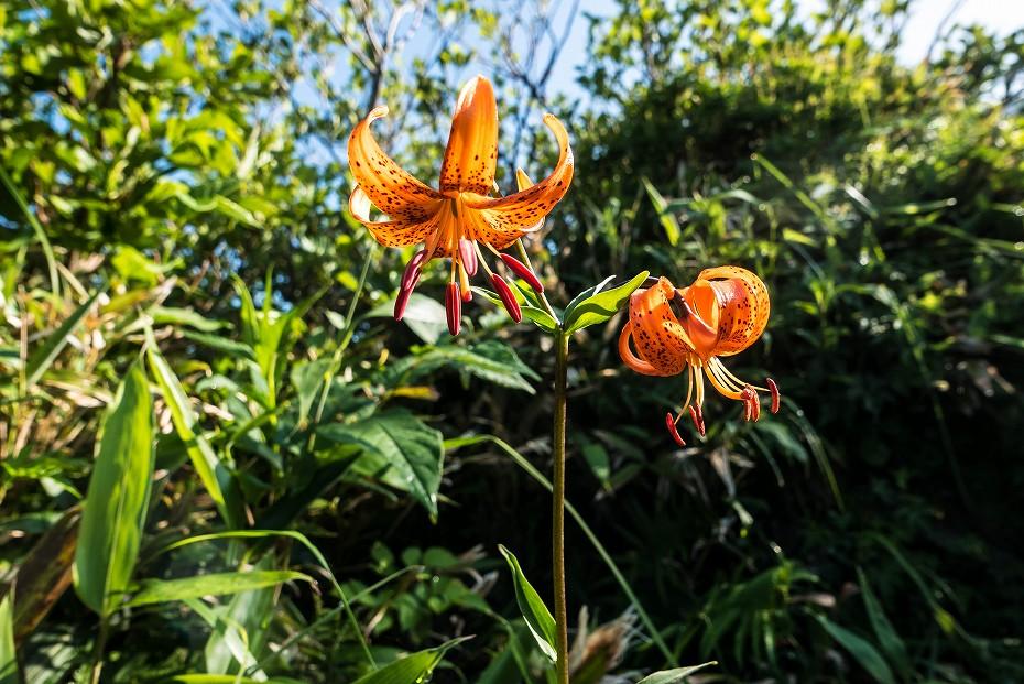2017.07.14白山の花が本格化6