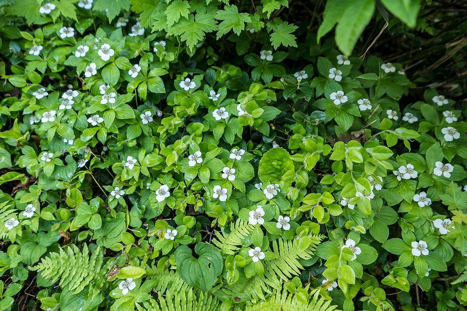 2017.07.14白山の花が本格化4
