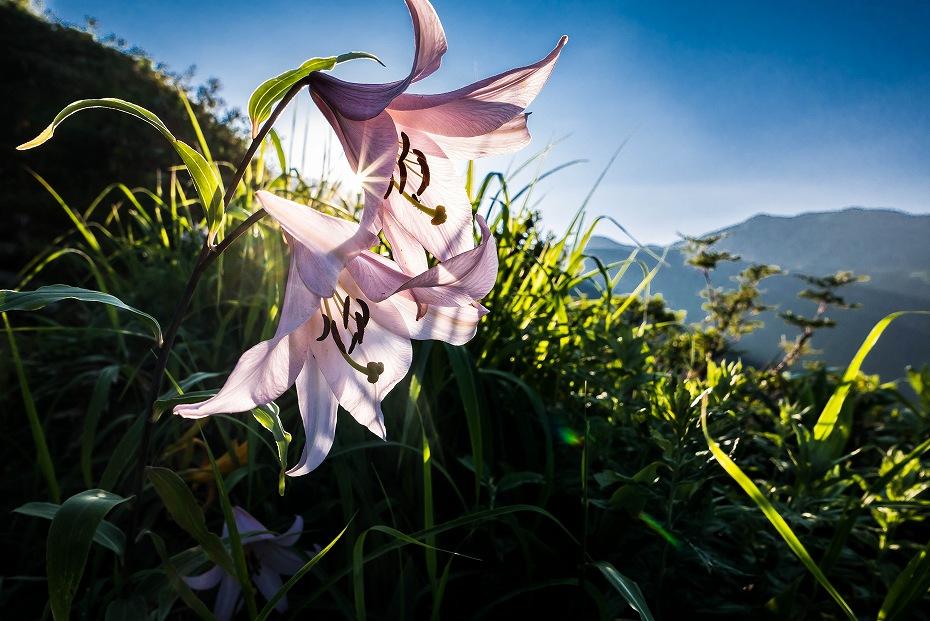 2017.07.14白山の花が本格化1