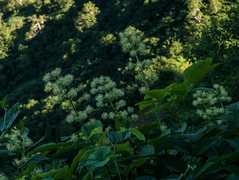 2017.08.02白山_砂防新道~南竜ヶ馬場の花6