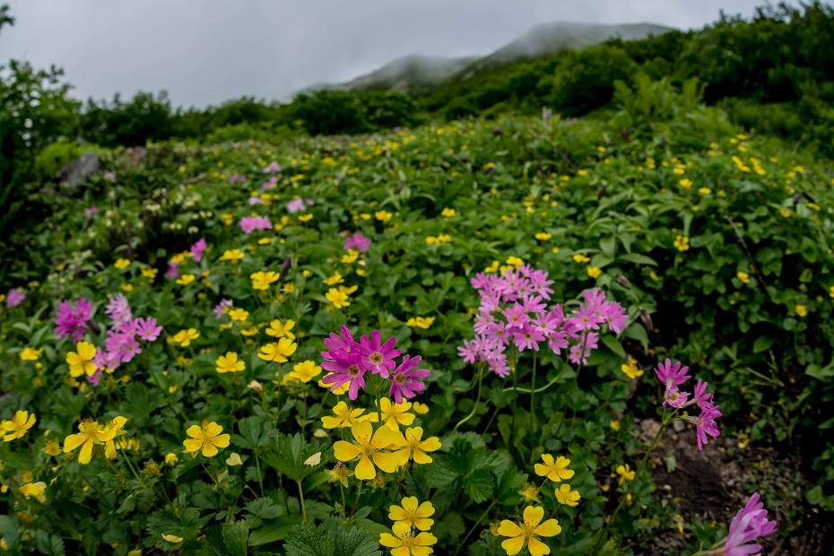 2017.08.14白山_お花松原_ハクサンコザクラ2