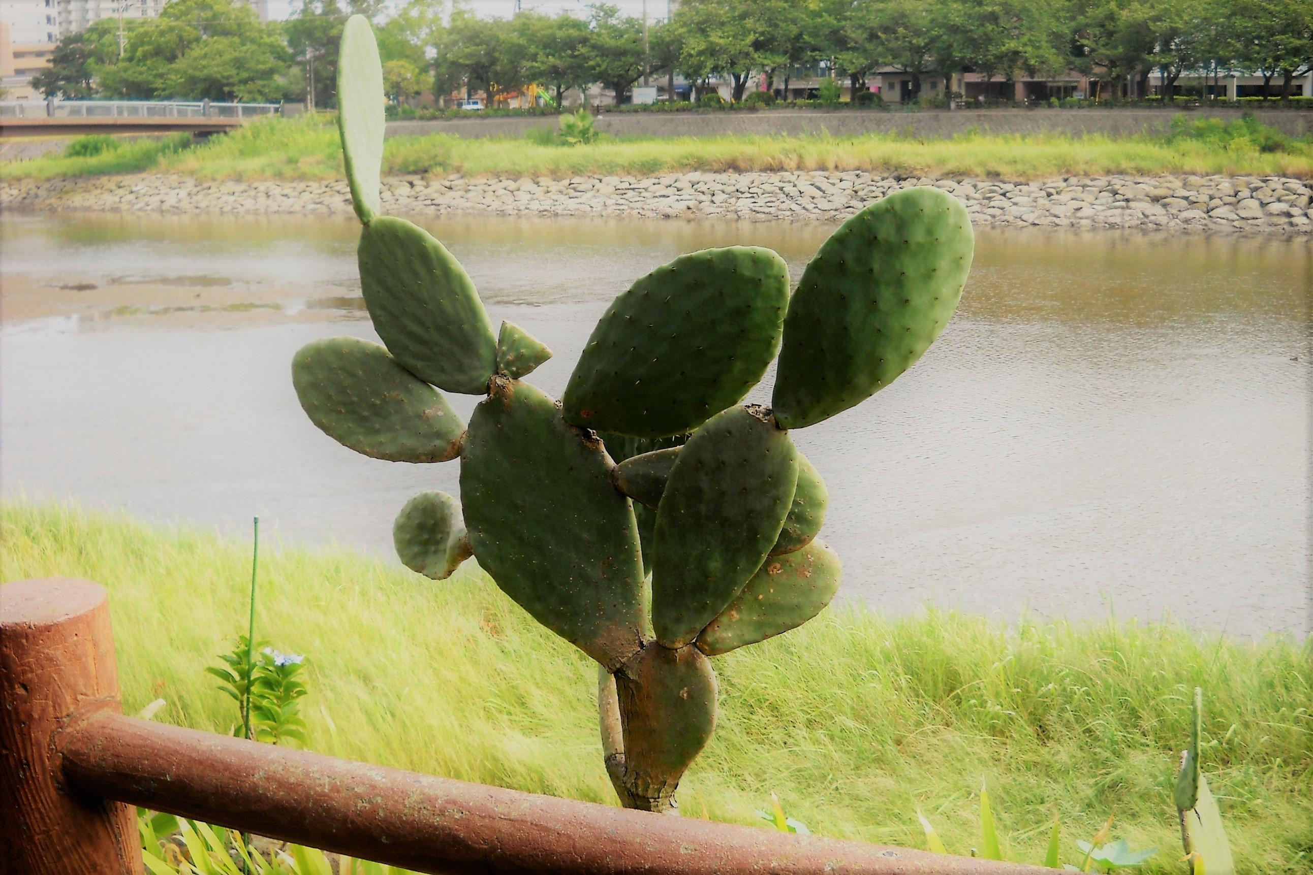 川辺のサボテン