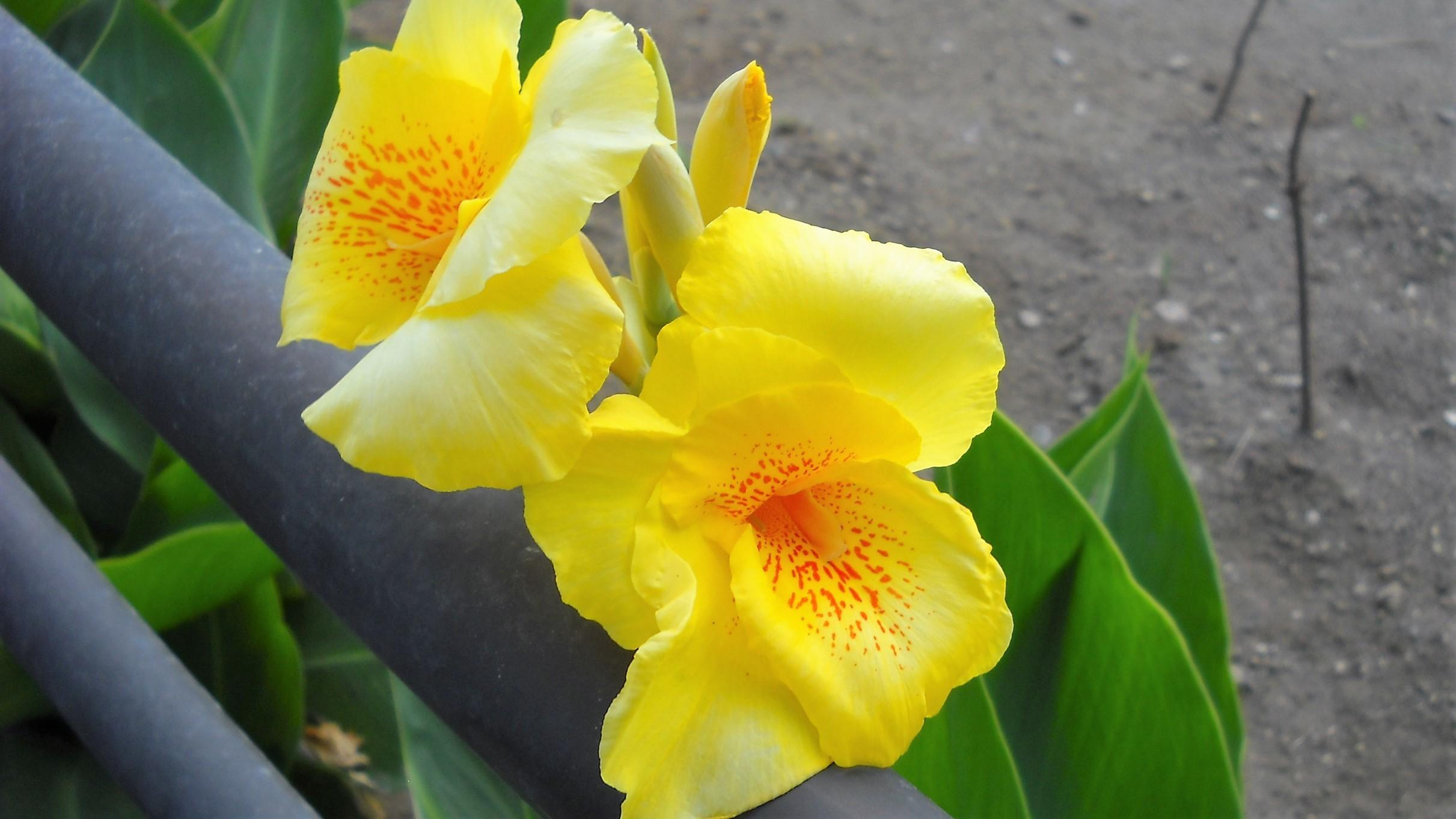 カンナ 黄