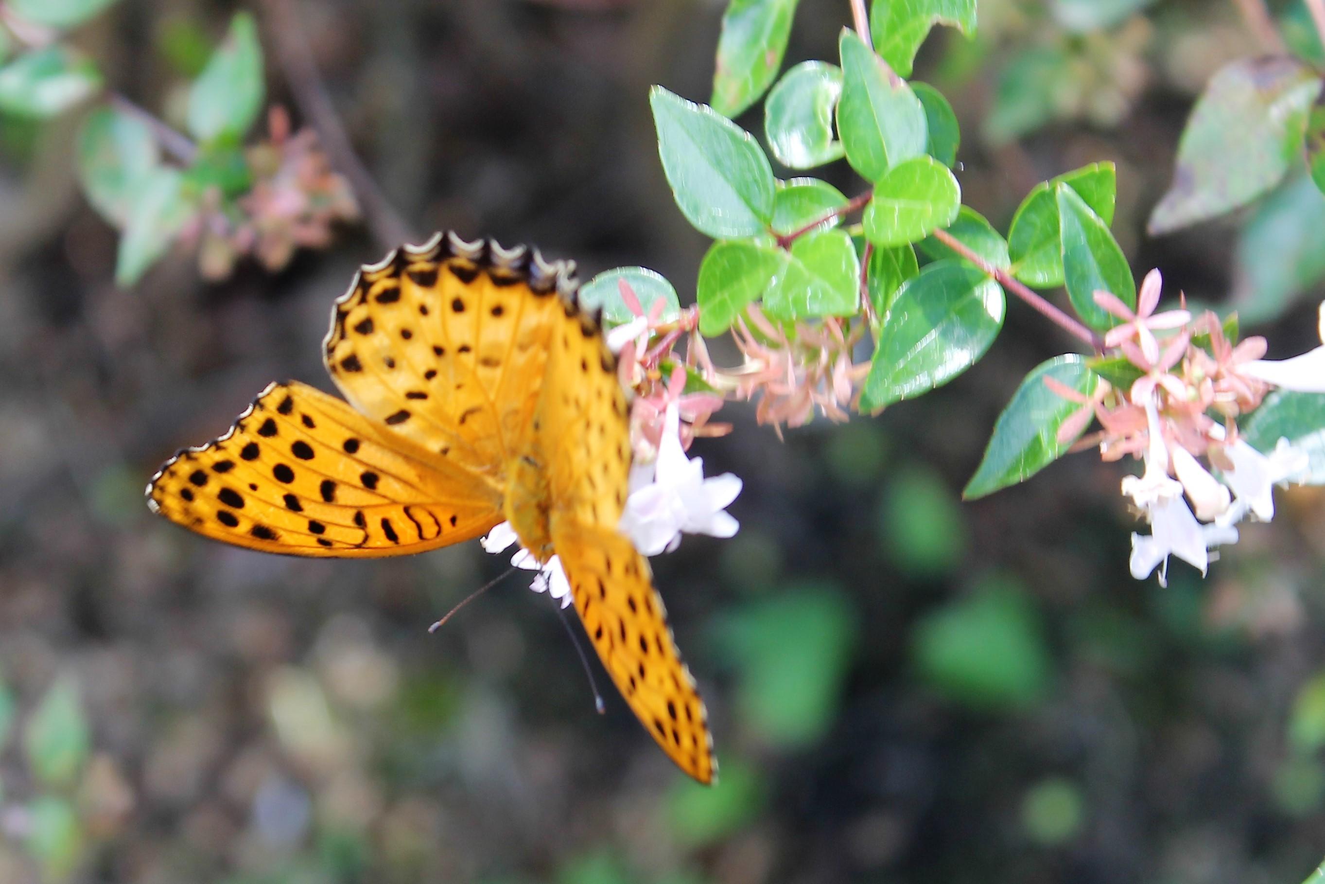 蝶とアベリア