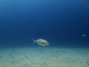 170820カスミアジ若魚 current blue