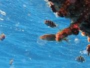 170820ツムブリ幼魚 current blue