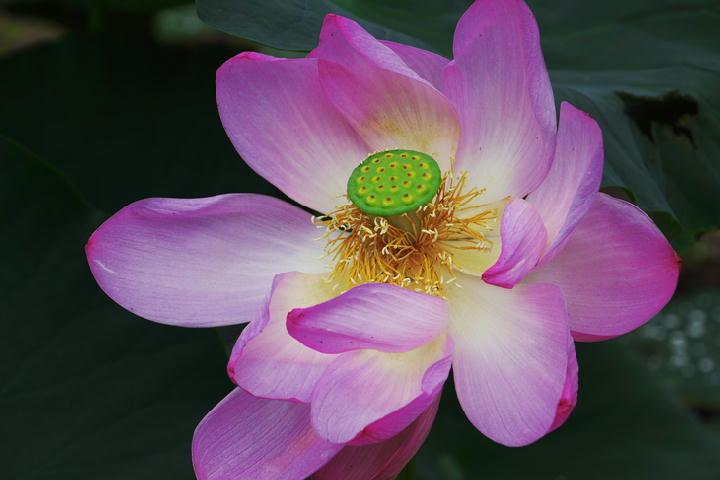 蓮の花-249