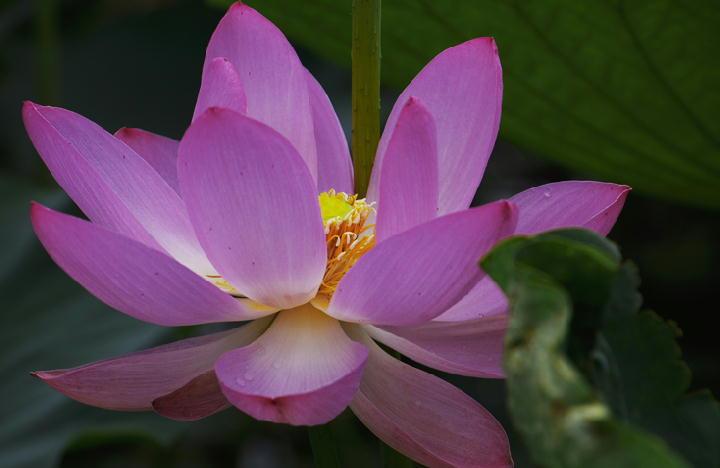 蓮の花-260-11