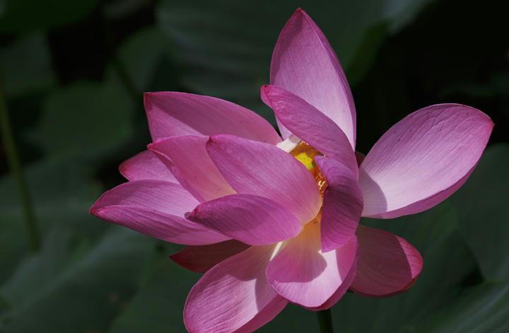 蓮の花-267-11