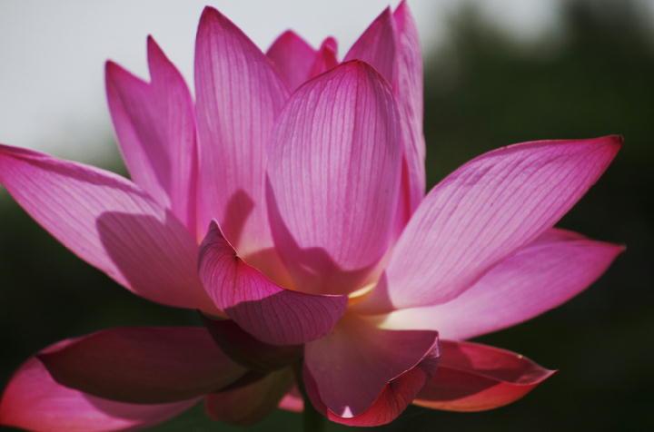 蓮の花-288-11