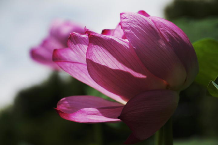 蓮の花-287-11