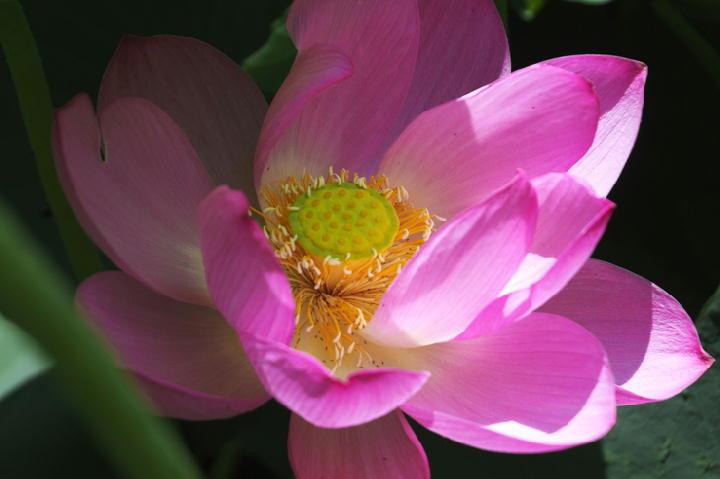 蓮の花-331