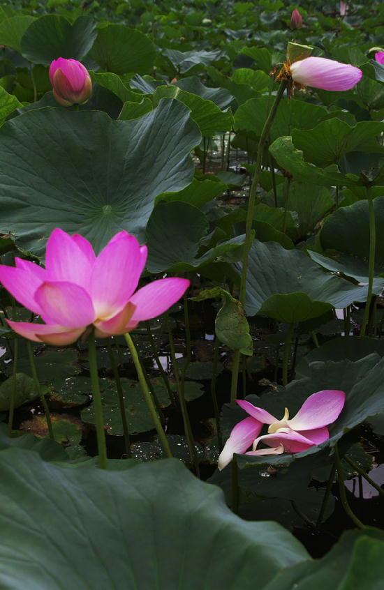 蓮の花-262-11